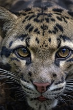 Preview iPhone wallpaper Leopard, wild cat, front view, face