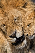 Preview iPhone wallpaper Lion and lion cub, fatherhood, love