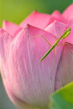 Preview iPhone wallpaper Lotus and mantis, pink flower, insect