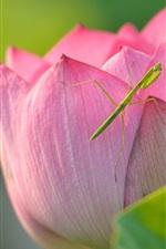 미리보기 iPhone 배경 화면 로터스와 사마귀, 핑크 꽃, 곤충