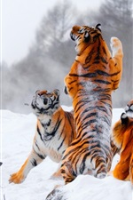 Preview iPhone wallpaper Many tigers, playful, snow, winter