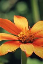 Preview iPhone wallpaper Orange flower petals, blur background