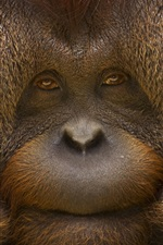 Orangutan face close-up, monkey