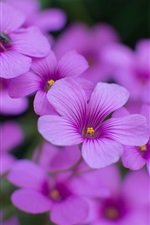 Oxalis purple flowers close-up