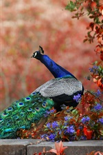 Peacock and flowers, long tail