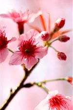 Preview iPhone wallpaper Pink cherry flowers bloom in the spring