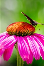Preview iPhone wallpaper Pink echinacea and moth