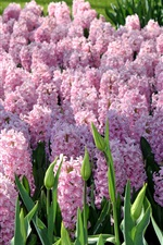 Preview iPhone wallpaper Pink flowers, hyacinths, garden, Netherlands