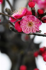 Preview iPhone wallpaper Pink plum flowers blossom