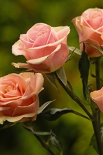 Pink roses, green background