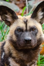 Preview iPhone wallpaper Predator, african wild dog
