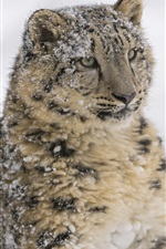 Preview iPhone wallpaper Predator, snow leopard, face, winter