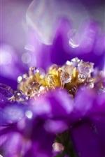 Purple flower petals close-up, flowering, dew