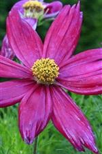 Preview iPhone wallpaper Purple kosmeya flowers, moisture, grass