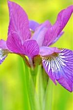 Preview iPhone wallpaper Purple petals iris close-up, green background
