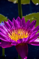Preview iPhone wallpaper Purple petals water lily, leaves, pond