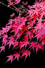 Preview iPhone wallpaper Red maple leaves, black background, autumn
