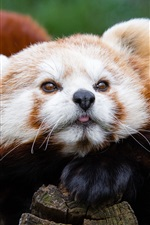 Preview iPhone wallpaper Red panda, animals photography