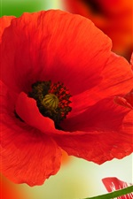Preview iPhone wallpaper Red poppies close-up, petals, white background
