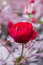 Preview iPhone wallpaper Red rose close-up, bokeh