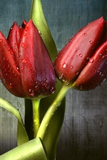 Preview iPhone wallpaper Red tulips, dew, green leaves