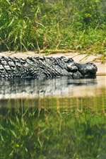 Preview iPhone wallpaper Reptile, crocodile, lake