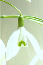 Preview iPhone wallpaper Snowdrops macro photography
