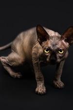 Sphynx cat, yellow eyes