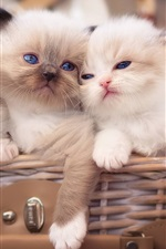 Preview iPhone wallpaper Three white kittens, blue eyes