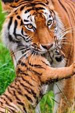 Preview iPhone wallpaper Tiger and cubs, animal photography
