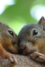 Preview iPhone wallpaper Two squirrels