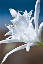 Preview iPhone wallpaper White petals lily close-up