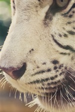 Preview iPhone wallpaper White tiger mouth close-up