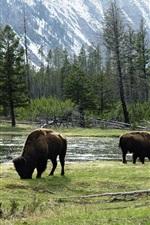 Wild bulls, America, trees, river