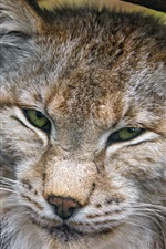 Preview iPhone wallpaper Wild cat, lynx close-up, face