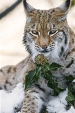 Preview iPhone wallpaper Wild cat, lynx, snow, winter, wildflowers