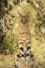 Preview iPhone wallpaper Wild cat, serval, nature, grass, plants