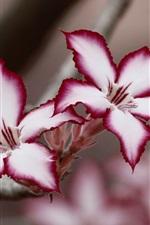 미리보기 iPhone 배경 화면 사막의장미, 흰 보라색 꽃잎