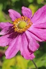 미리보기 iPhone 배경 화면 말미잘, 핑크 꽃잎