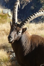 Preview iPhone wallpaper Animal ibex in the grass