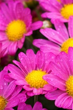 Preview iPhone wallpaper Beautiful pink flowers, petals, water drops