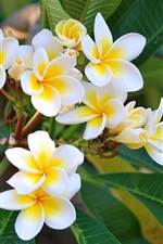 Preview iPhone wallpaper Beautiful plumeria photography, twigs