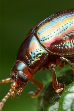 Preview iPhone wallpaper Beetle, insect photography