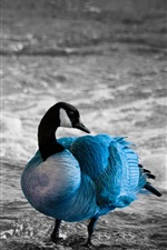 Preview iPhone wallpaper Blue feathers duck, water, lake