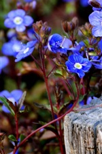 Preview iPhone wallpaper Blue little flowers photography
