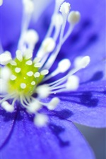 Preview iPhone wallpaper Blue petals anemone flower close-up