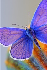 Preview iPhone wallpaper Blue wings butterfly, insect