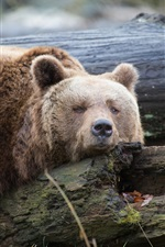 Preview iPhone wallpaper Brown bear rest