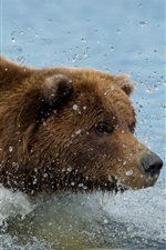 Preview iPhone wallpaper Brown color bear swim in water