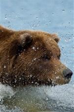Marrom, cor, urso, natação, água